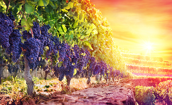 Purple Grapes In Scenic Vineyard