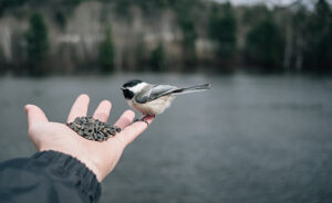 QUEBEC, QC - CANADA APRIL 2017 - Black-capped chickadee standing trustfully in man's hand